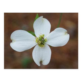 Dogwood Bloom Postcard