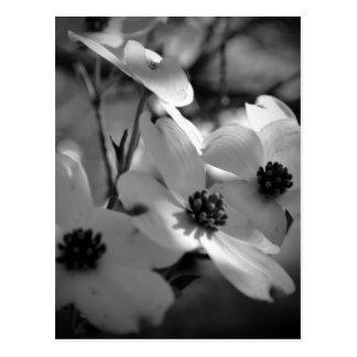 Dogwood Blossoms Bk-Wh-V Post Cards