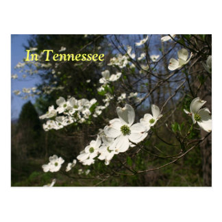 Dogwood Blossoms Postcard