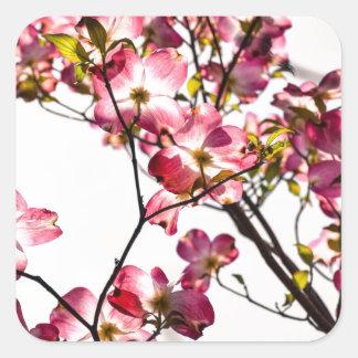 Dogwood en la floración pegatina cuadrada