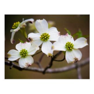 Dogwood en la floración postales