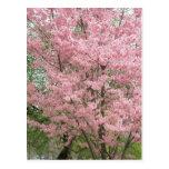 Dogwood floreciente rosado tarjeta postal