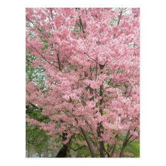 Dogwood floreciente rosado postal