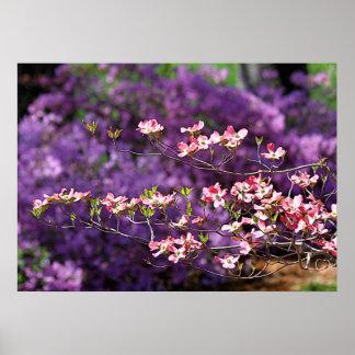 Dogwood floreciente rosado y azaleas púrpuras poster