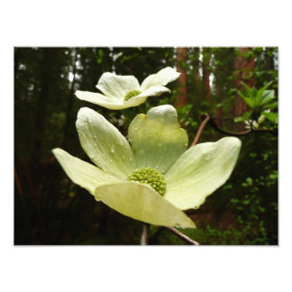 Dogwoods and Redwoods Photo Print