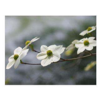 Dogwoods in Bloom... Postcard