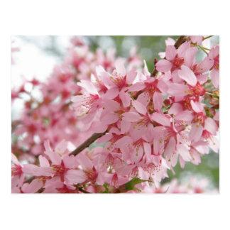 Dogwoods rosados tarjeta postal