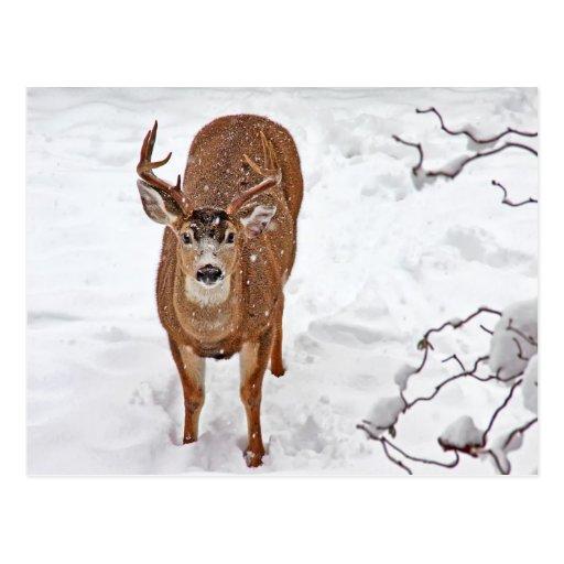 Dólar de los ciervos en nieve del invierno tarjetas postales