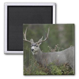 Dólar del ciervo mula que hojea en cepillo imán cuadrado