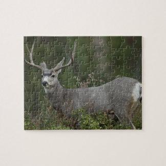 Dólar del ciervo mula que hojea en cepillo puzzle con fotos
