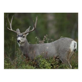 Dólar del ciervo mula que hojea en cepillo postal