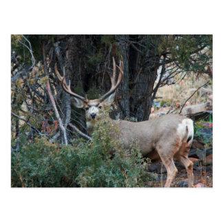 Dólar del estímulo del ciervo mula postal