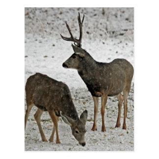 Dólar y gama del ciervo mula postal