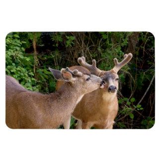 Dólares de los ciervos del amor fraternal imanes rectangulares