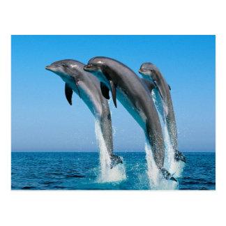 Dolphin Family Postcard