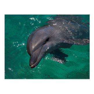 Dolphin in the Solomon Islands Postcard
