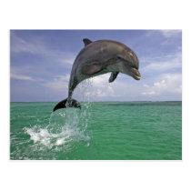Dolphin jump postcard