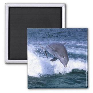 Dolphin jumping, Grand Bahama, Bahamas Magnet