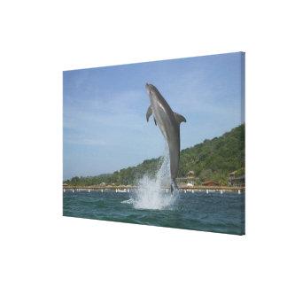 Dolphin jumping, Roatan, Bay Islands, Honduras Canvas Print