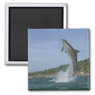 Dolphin jumping, Roatan, Bay Islands, Honduras Magnet