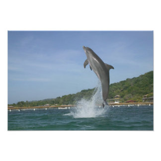 Dolphin jumping, Roatan, Bay Islands, Honduras Photo Print