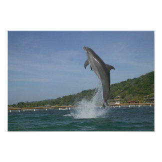 Dolphin jumping, Roatan, Bay Islands, Honduras Poster