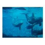 Dolphin Play Postcard