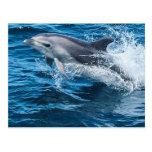 Dolphin Splashing Postcard