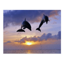 Dolphins jumping RK sunset Postcard