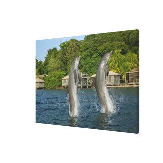Dolphins jumping, Roatan, Bay Islands, Canvas Print