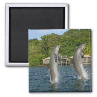 Dolphins jumping, Roatan, Bay Islands, Magnet