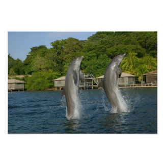 Dolphins jumping, Roatan, Bay Islands, Poster