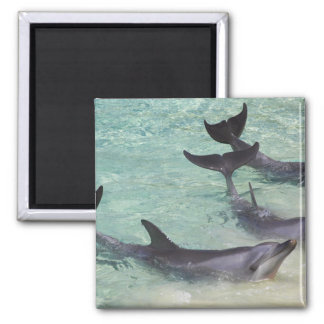 Dolphins, Sea World, Gold Coast, Queensland, 2 Inch Square Magnet