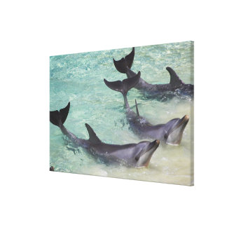 Dolphins, Sea World, Gold Coast, Queensland, Canvas Print