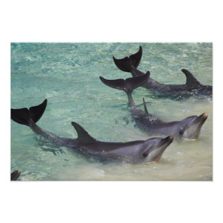 Dolphins, Sea World, Gold Coast, Queensland, Poster