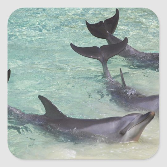 Dolphins, Sea World, Gold Coast, Queensland, Square Sticker
