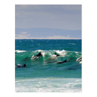 Dolphins surfing a wave postcard