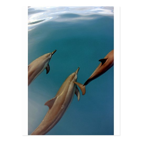 Dolphins swimming in tropical lagoon Tahiti Postcard
