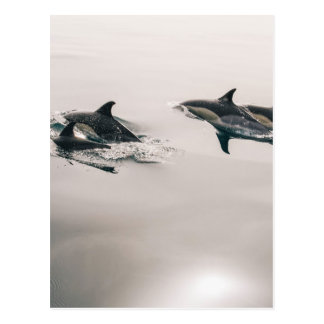 Dolphins Swimming Postcard