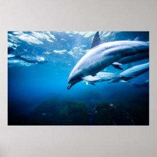 Dolphins Underwater Poster
