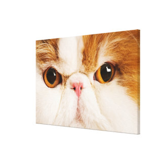 Domestic cat Calico Harlequin Persian Close up Stretched Canvas Print