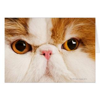 Domestic cat. Calico Harlequin Persian. Close up Card