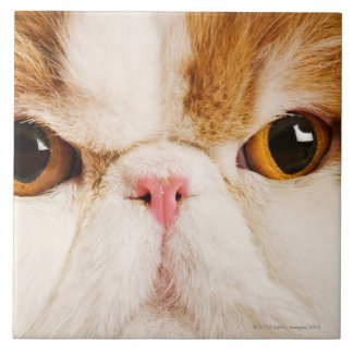 Domestic cat. Calico Harlequin Persian. Close up Ceramic Tile