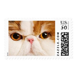 Domestic cat. Calico Harlequin Persian. Close up Postage