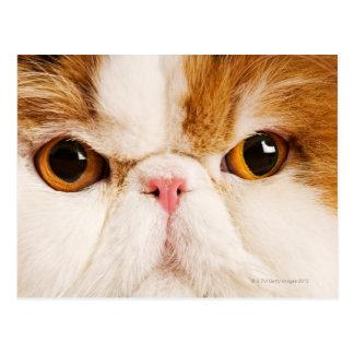 Domestic cat. Calico Harlequin Persian. Close up Postcard