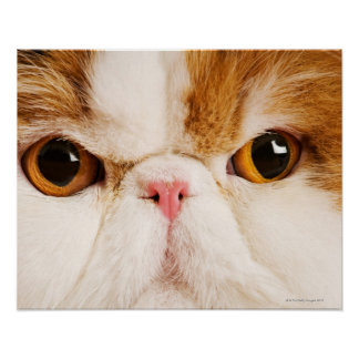 Domestic cat Calico Harlequin Persian Close up Posters