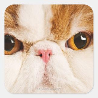 Domestic cat. Calico Harlequin Persian. Close up Square Sticker