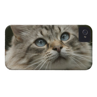 Domestic cat iPhone 4 cover