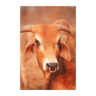 Domestic Dairy Cow, Zimbabwe Canvas Print