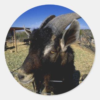 Domestic Goat Classic Round Sticker